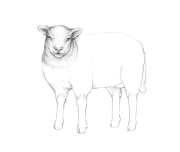 Adding graphite hatching to the head and neck of the sheep