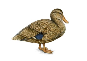 An example of female duck coloring