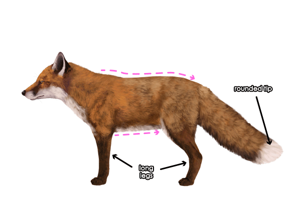 How to Draw a Fox