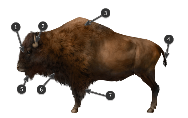 how to draw bison