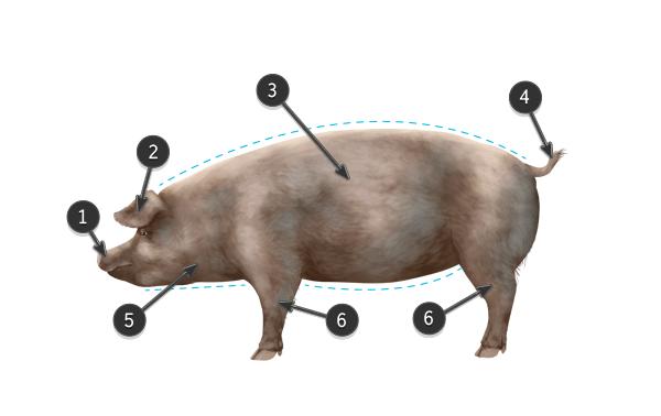 pig body
