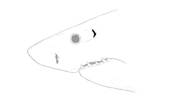 shark spiracle