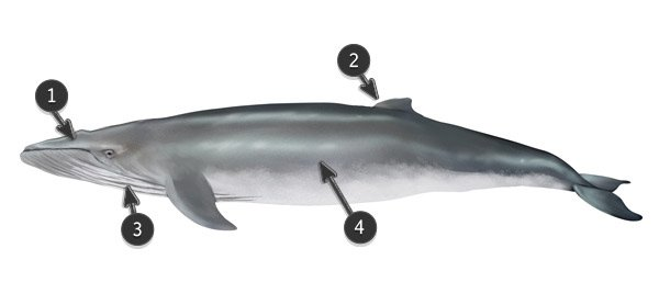 blue whale body profile