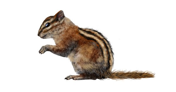 rodents how to draw chipmunk