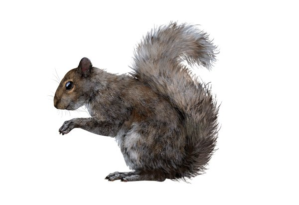 rodents how to draw gray squirrel