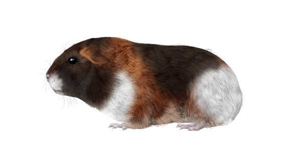 rodents how to draw guinea pig