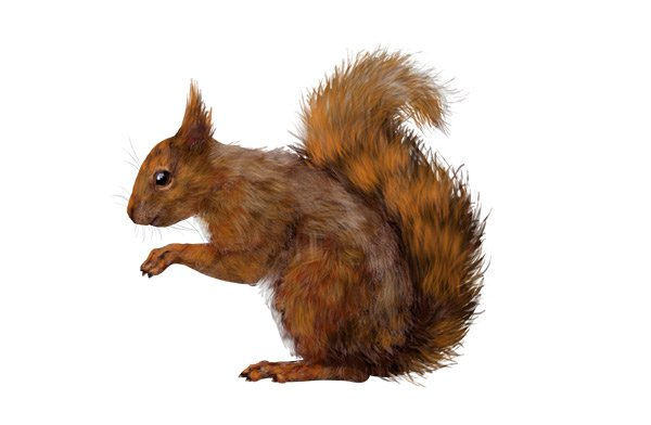 rodents how to draw red squirrel