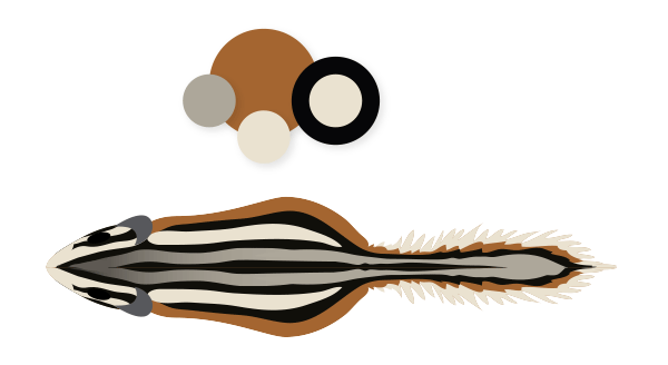 rodents how to draw chipmunk colors stripes back
