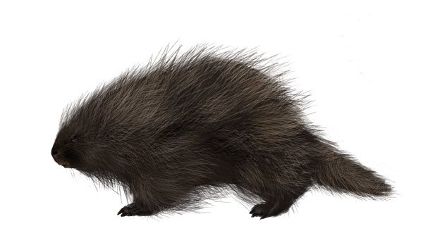 how to draw north american porcupine body