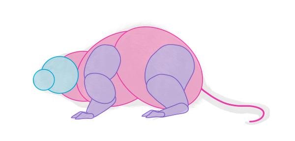 how to draw muskrat body 2