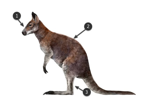 wallaby vs kangaroo