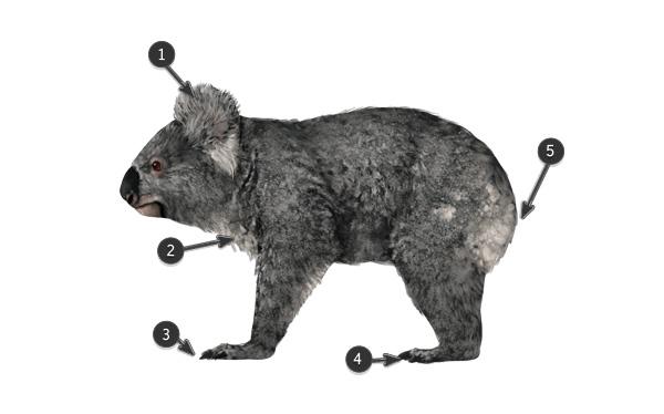 koala body features