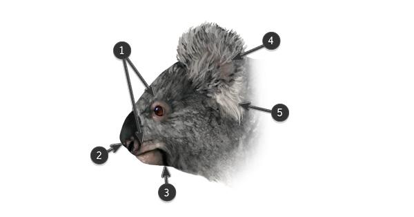 koala face head colors