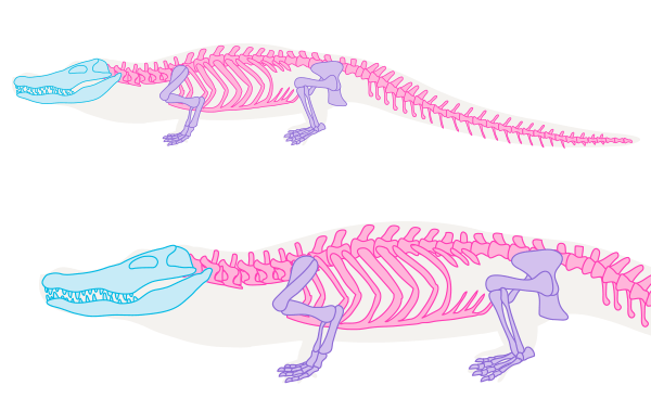 crocodile skeleton drawing anatomy