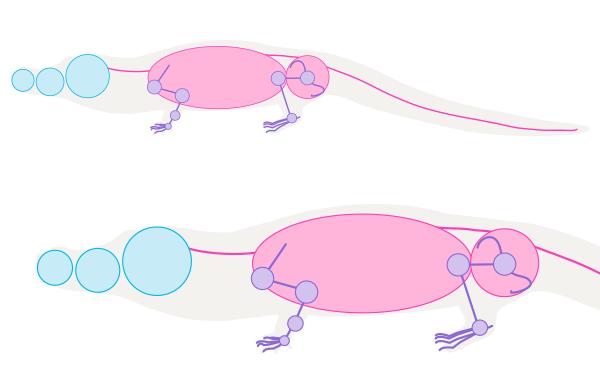 crocodile skeleton drawing anatomy 2