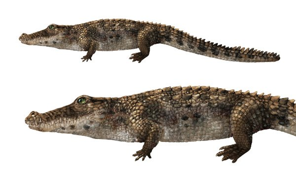 how to draw caiman