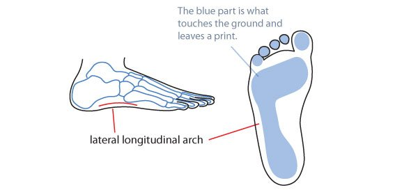 The lateral longitudinal arch