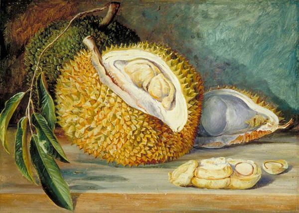 Durian Fruit from a Large Tree Sarawak Borneo