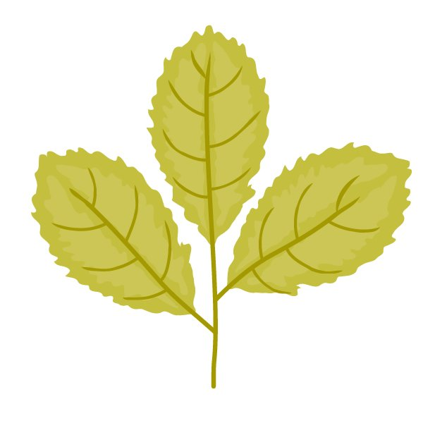 correcting the petiole and veins of the leaves