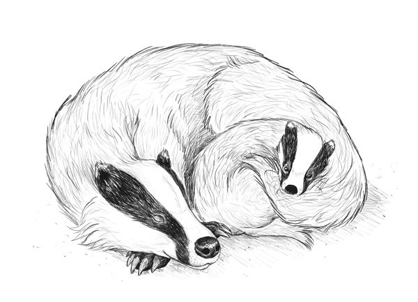 Reference sketch of the badger family