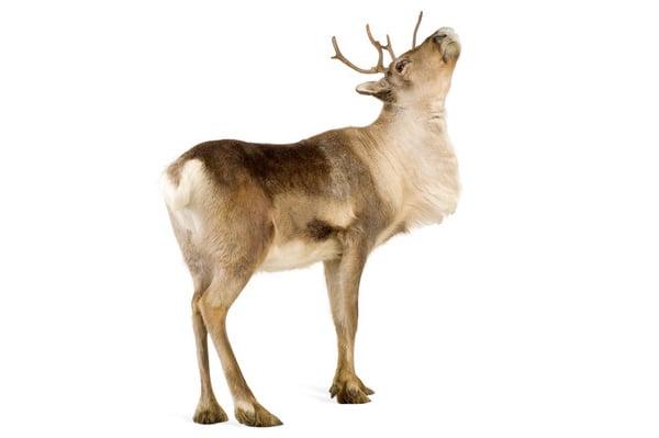 Reindeer 2 years Photodune
