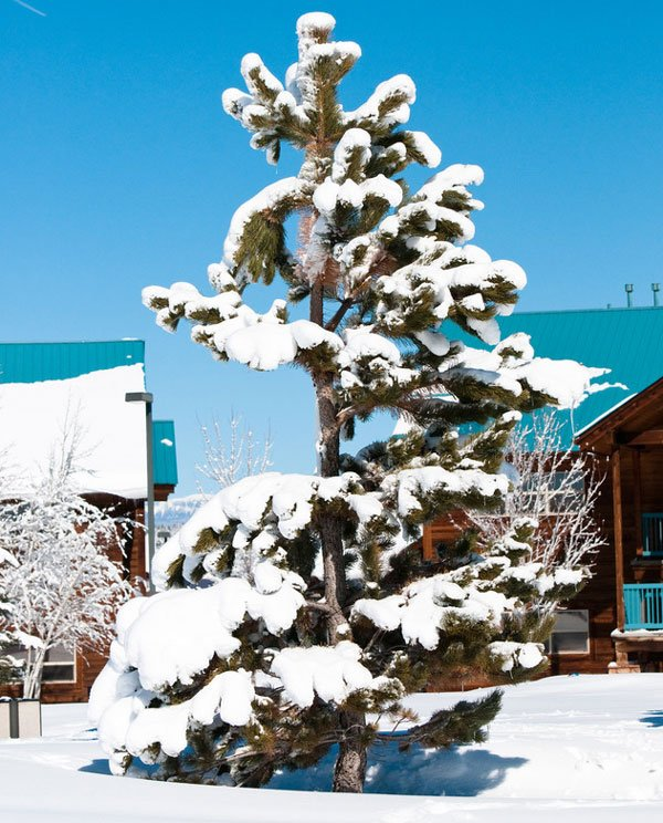 Snow covered pine tree Photodune