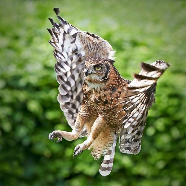Spotted Eagle Owl Bubo Africanus Photodune