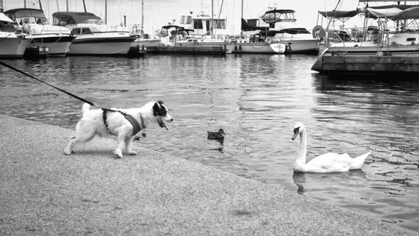 Dog barking at a swan in the water