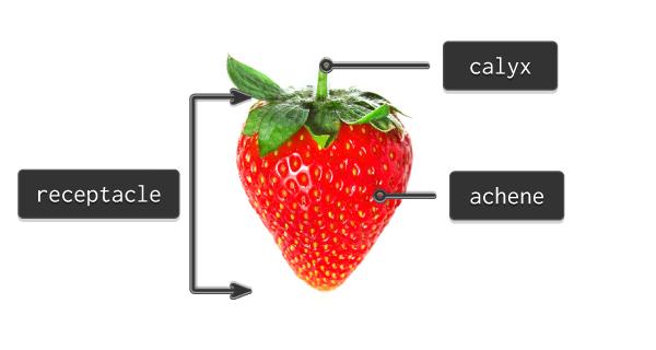 strawberry anatomy