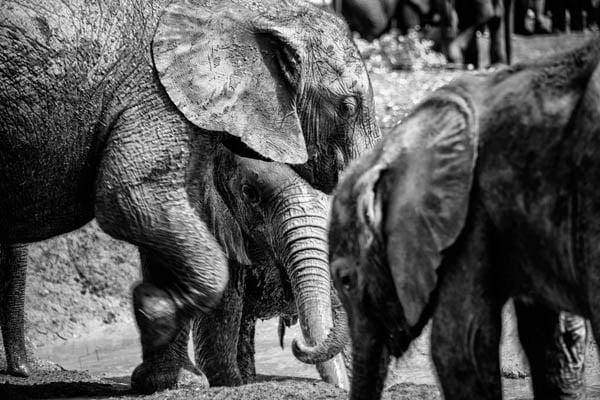 orphaned elephants