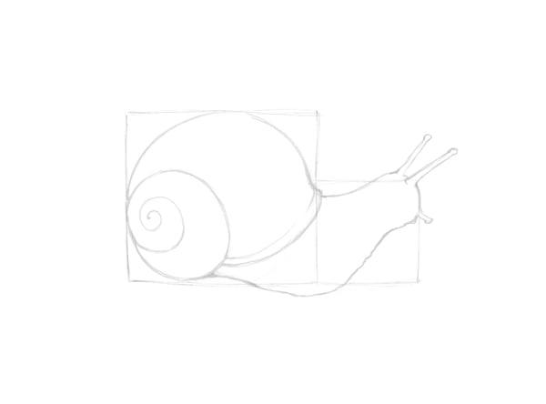 Contour of the snail
