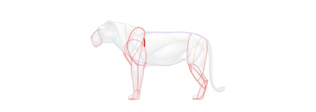 lion forelimb muscles simplified