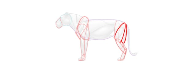 lion hind leg muscles simplified