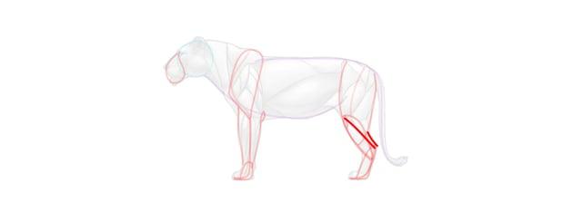 lion achilles tendon simplified