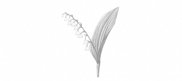 lily of the valley shading