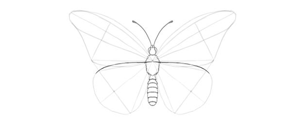 butterfly lower wing inner margin