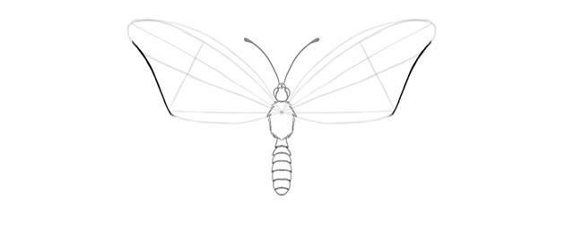 butterfly upper wing outer margin