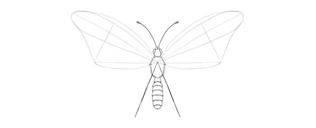 butterfly lower wing length