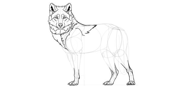 wolf drawing back mane