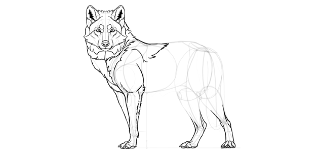 wolf drawing front leg details