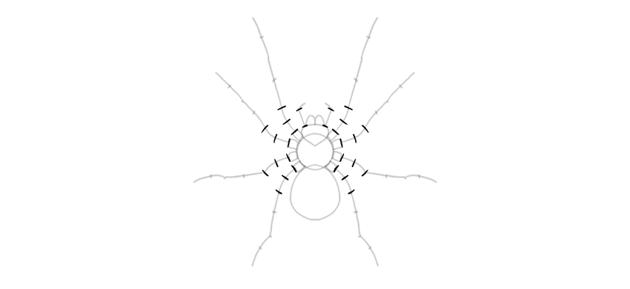 spider drawing leg width
