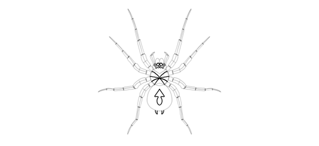 spider drawing details