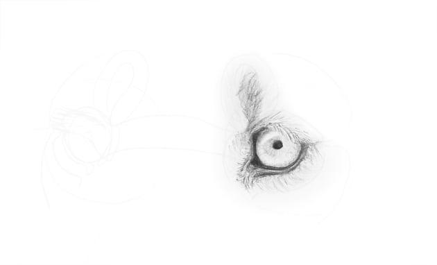 lion eye detailed fur