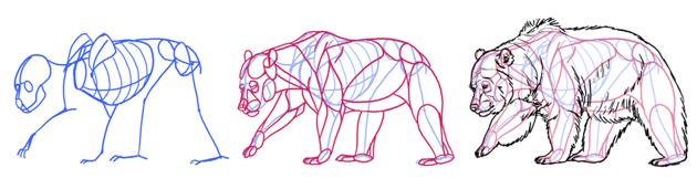 bear anatomy skeleton muscles