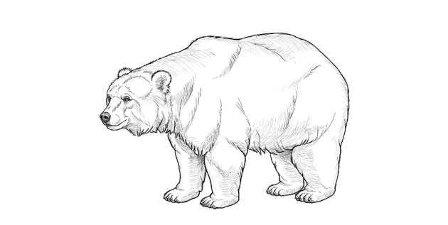 bear drawing top shading