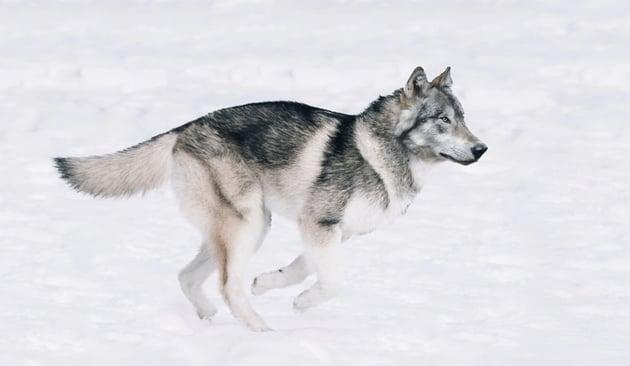 husky lowered vibrance