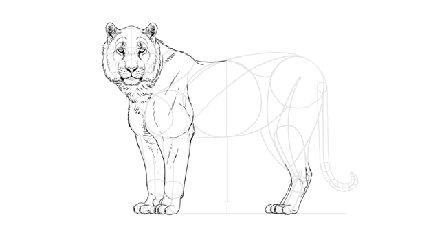 draw tiger muscles