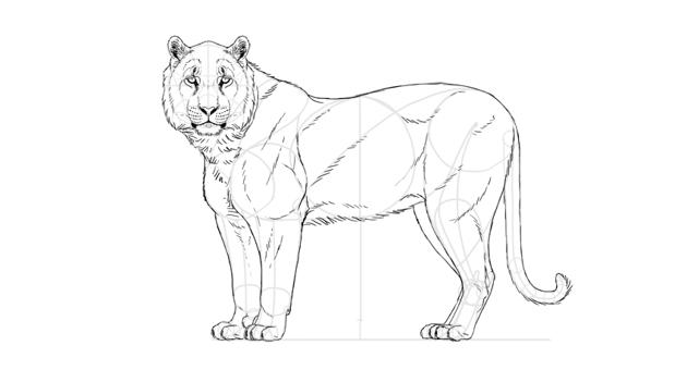 draw tiger legs and torso