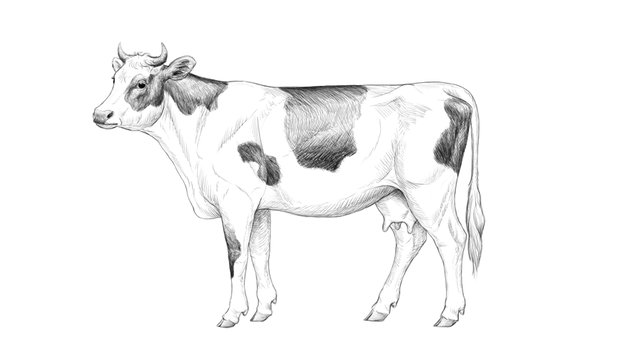 finish drawing cow