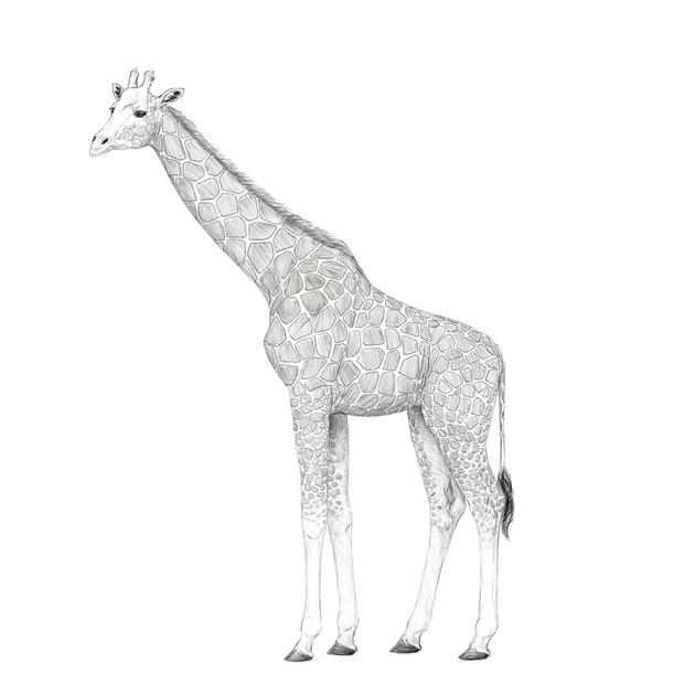 color giraffe pattern